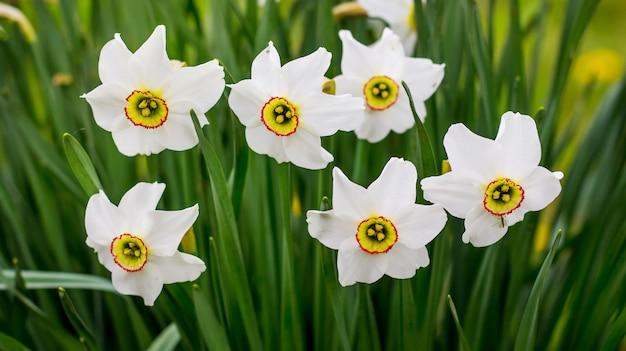 В саду цветут белые нарциссы. декоративные весенние цветы_