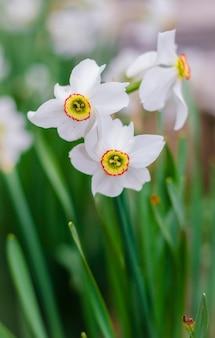 Весной в саду цветут белые нарциссы