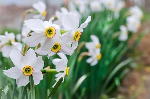 White daffodils in spring bloom in the garden