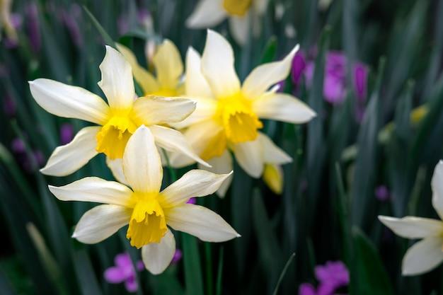 コアが黄色の白い水仙