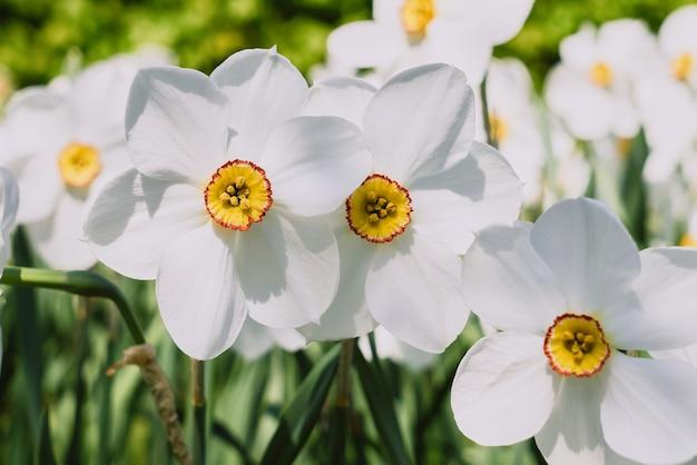 Белые нарциссы с желтой трубой на клумбе. выборочный фокус. белый цветущий нарцисс в саду