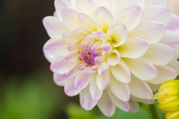 庭で雨の滴を白いダリアの花、ソフトフォーカス。