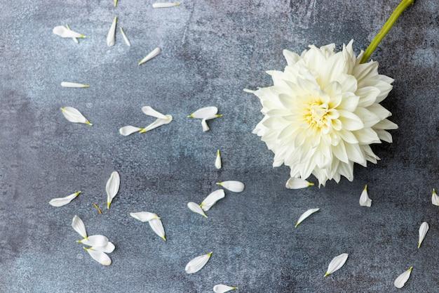暗い灰色の背景に白いダリアの花