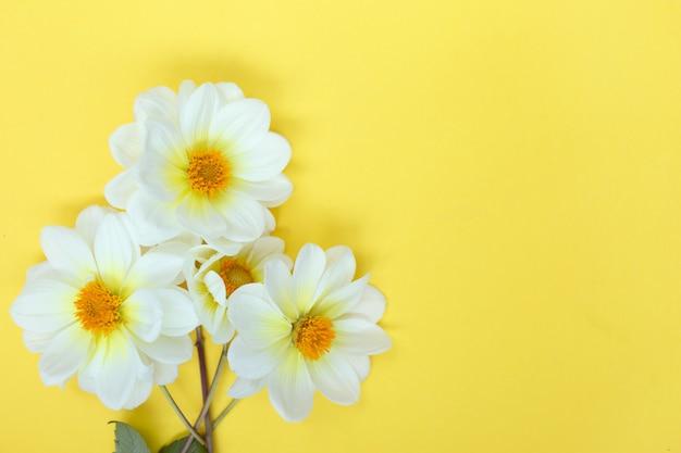 White dahlia flowers on yellow background copyspace
