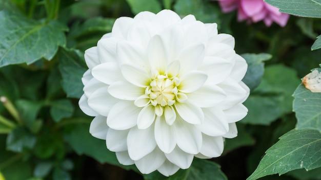 Белая георгина в саду.