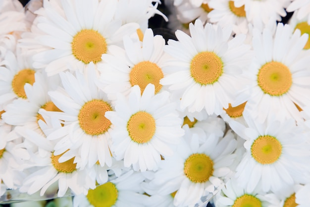 Белый daisie