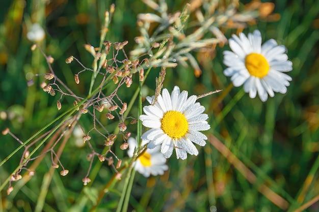 畑に咲く白いヒナギクのクローズアップ