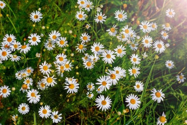 日光の下で庭の白いヒナギク