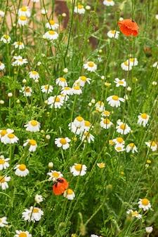 Белые ромашки, красные маки, красивые полевые цветы.