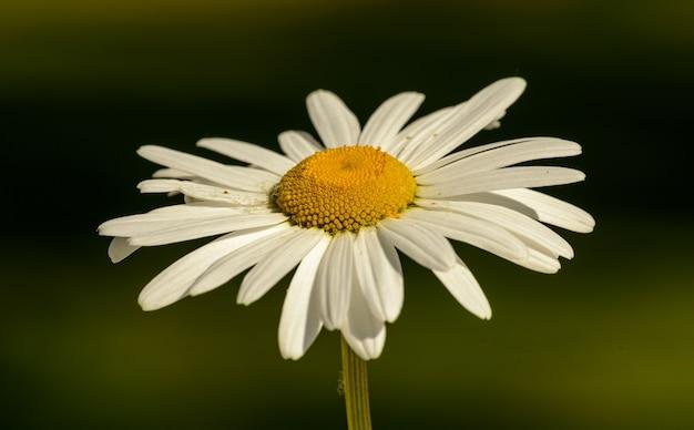 Белый цветок ромашки крупным планом со стороны изолированные