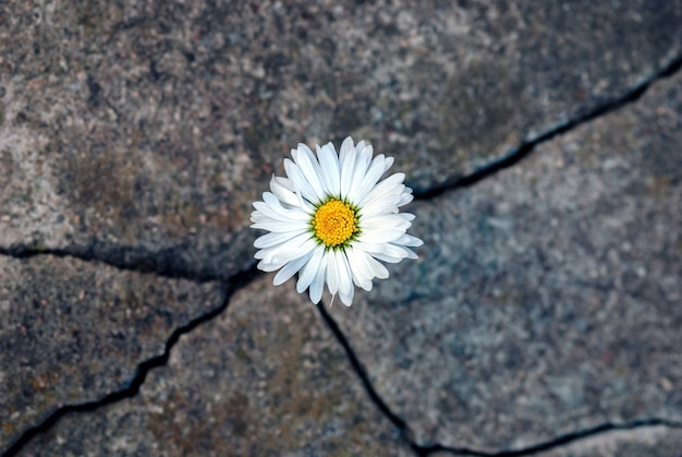 White daisy flower in the crack of an old stone slab - the concept of rebirth, faith, hope, new life, eternal soul