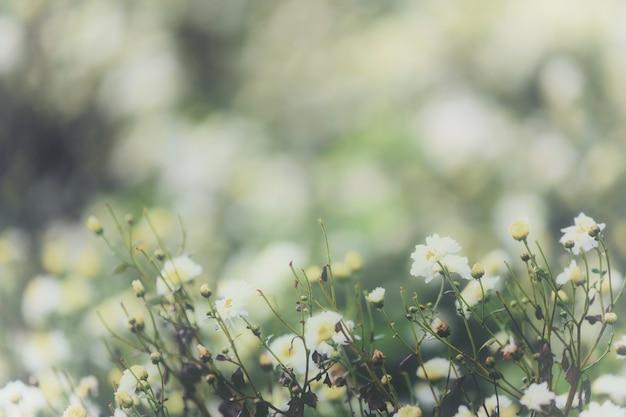 Белый цветок ромашки в природе