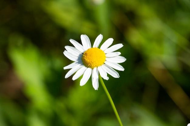 Цветок белой ромашки в саду. одна ромашка на зеленом фоне с пустым пространством. летняя иллюстрация. маленький белый цветок на фоне зеленой травы