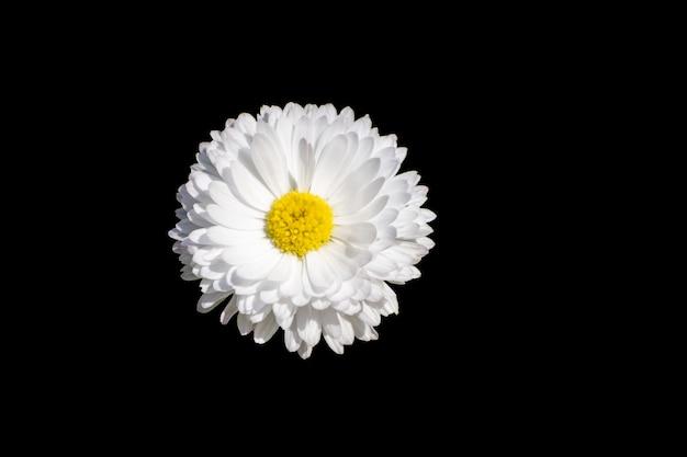 White daisy flower isolated on black background