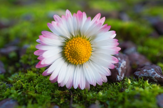White daisy flower plant