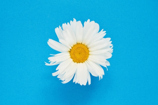White daisy flower, top view.