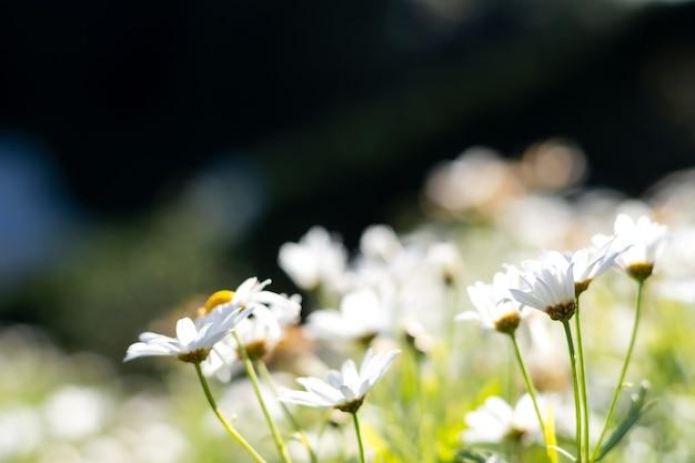 White daisy flower with sunshine in the garden.