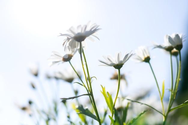 Белый цветок ромашки с солнечным светом в саду.