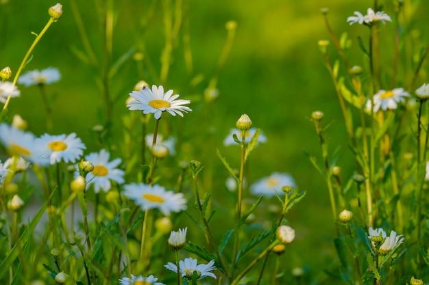 녹색 배경 흐리게에 흰색 데이지 꽃