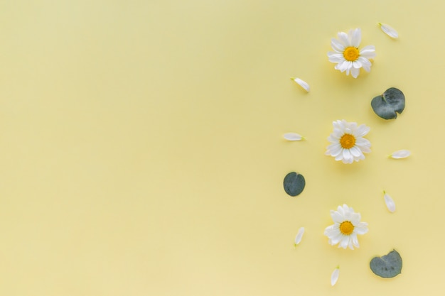 White daisy flowers; petal and leaf on yellow background with copyspace