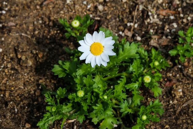 White daisy have beautiful yellow stamens.