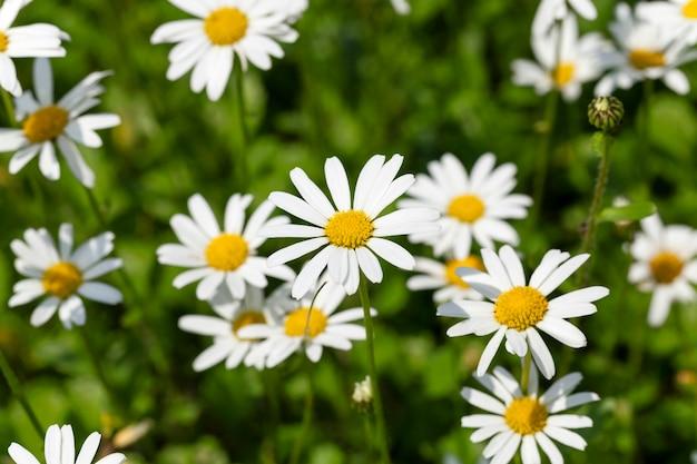 Белая маргаритка - сфотографированный крупным планом белых цветов ромашки ромашки.