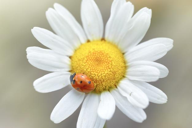 花びらにてんとう虫と白いデイジー、マクロ撮影