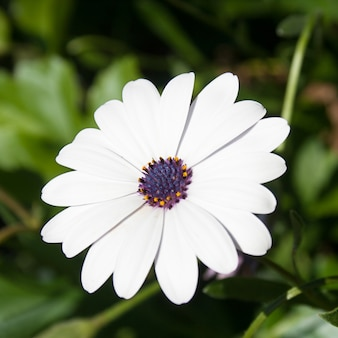 White daisy with purple bud.