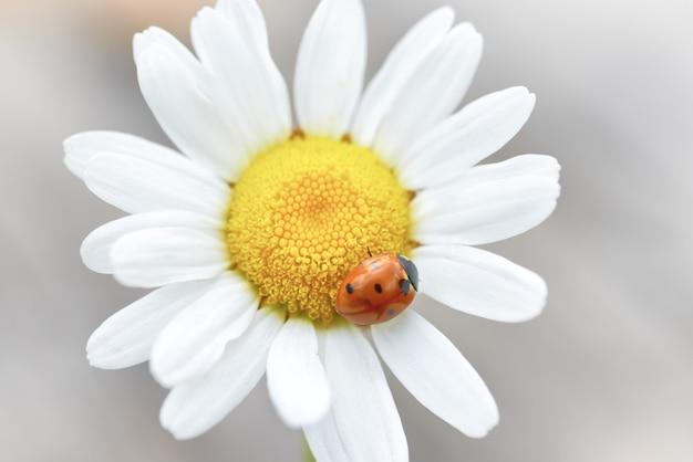 花びらに赤いてんとう虫と白いデイジー、マクロ撮影