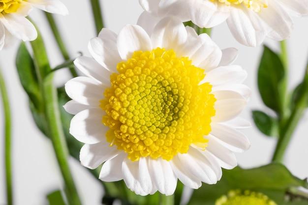 白い背景のクローズアップで黄色のおしべと白いデイジー、明るい光の側面図の下でマクロ撮影