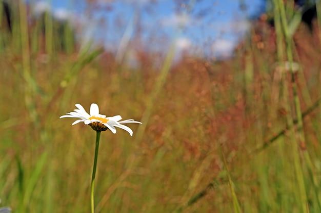 黄色の秋のフィールドに白いデイジーホイール