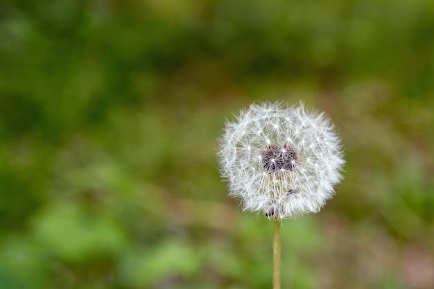White dandelion on blurred dark green background