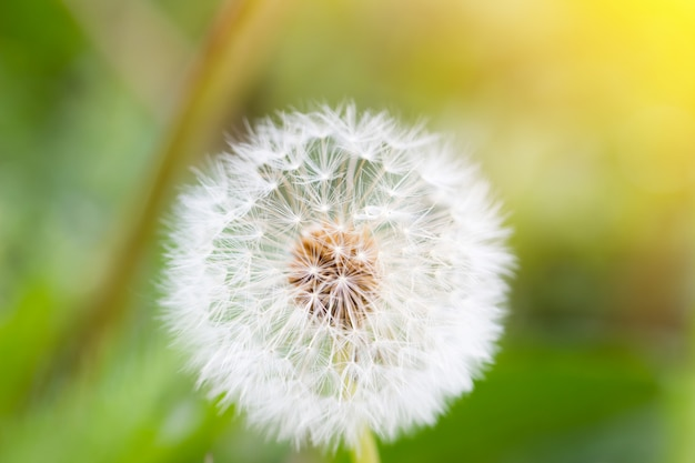 White dandelion, closeup, natural spring background