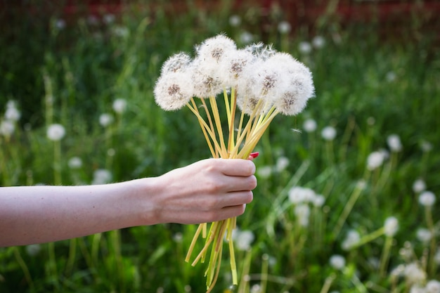 White dandelion in a female hand on a green background. summer flower