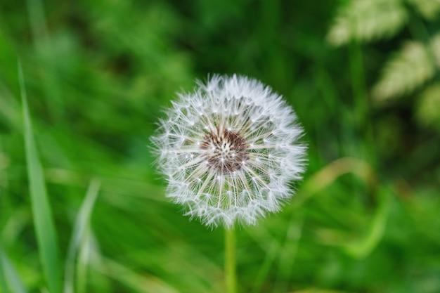 白いタンポポの花ブローボール。