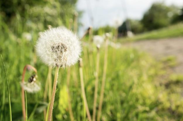 牧草地の白いタンポポの花
