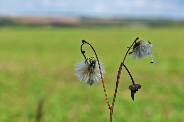 草の中の白いタンポポ