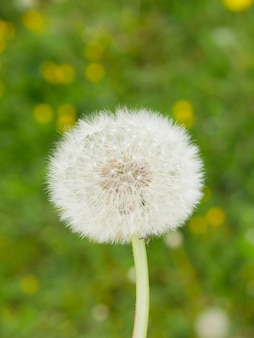 緑の芝生の背景に白いタンポポ