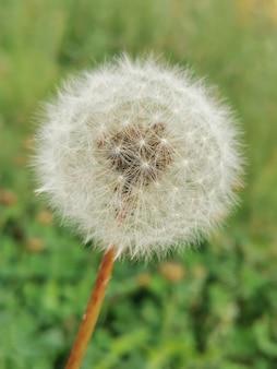 Белый одуванчик на зеленом фоне. семена зрелого цветка.
