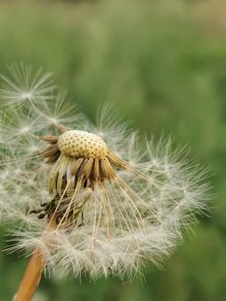 緑の背景に白いタンポポ。成熟した花の種子、選択的な焦点