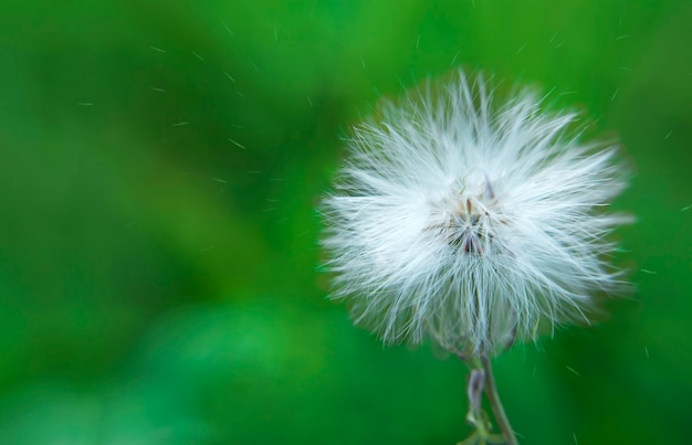 White dandelion and pollen blowing away across a fresh green background.