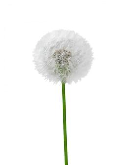 White dandelion on white