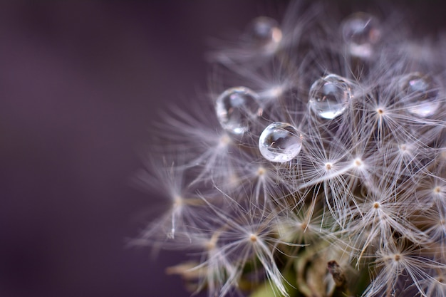 White dandelion with water drops