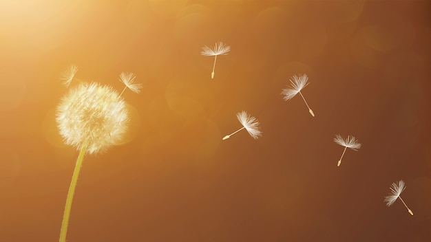White dandelions and flying seeds on the sunset bokeh background.