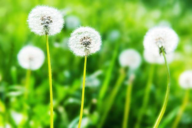 緑の芝生の上の白いタンポポ。夏の風景。