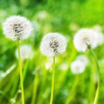 緑の芝生の上の白いタンポポ