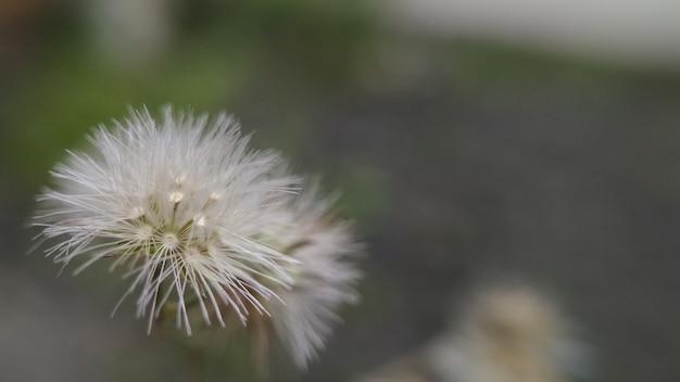 White dandellion flower on blur background for botanical wallpaper