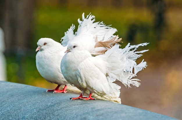 Белые декоративные голуби с красивым пышным хвостом