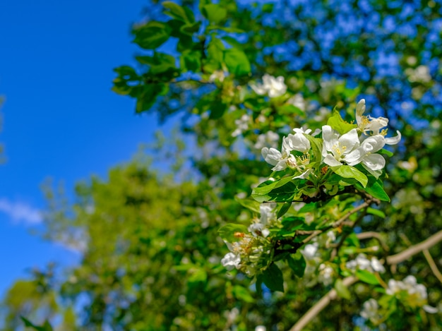 青い空を背景に枝にリンゴの木の白い繊細な花