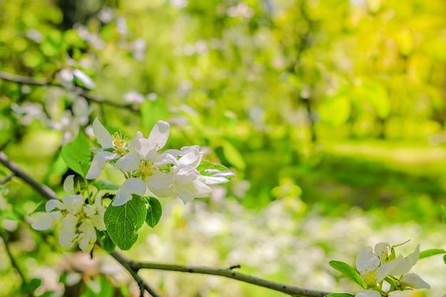 화창한 따뜻한 봄날 나뭇가지에 사과나무의 하얀 섬세한 꽃